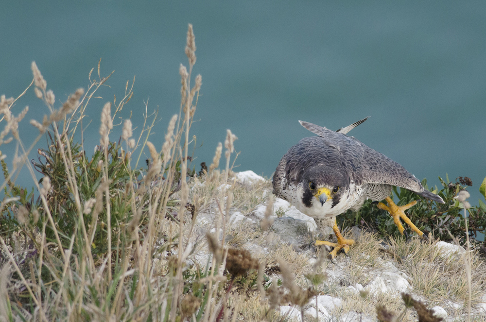 Coastal and rural peregrines are still at risk from persecution, particularly in the north of England, where the small game shooting industry is prevalent