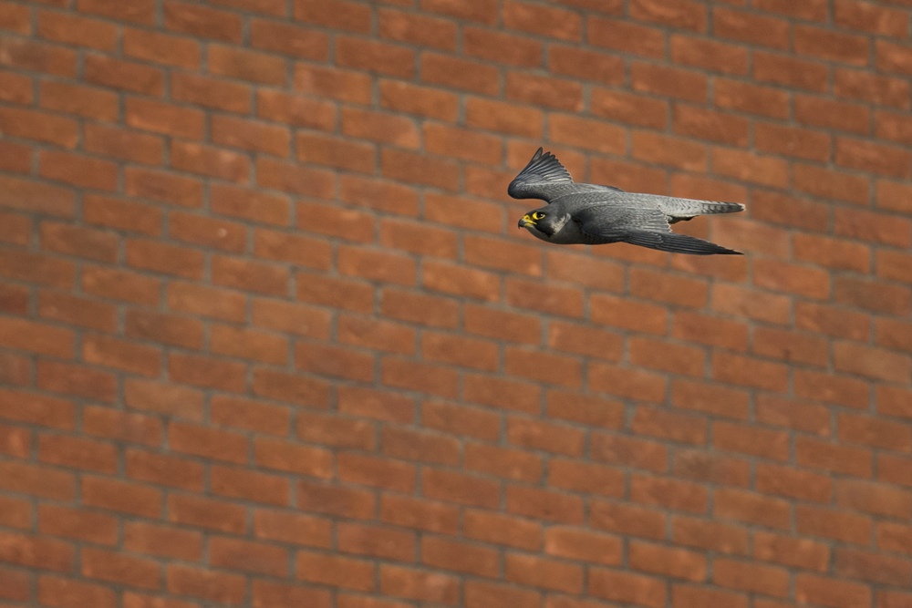 Sharing our towns and cities with peregrines is helping to change public attitudes towards raptors for the better and for now, it looks like urban peregrines are here to stay