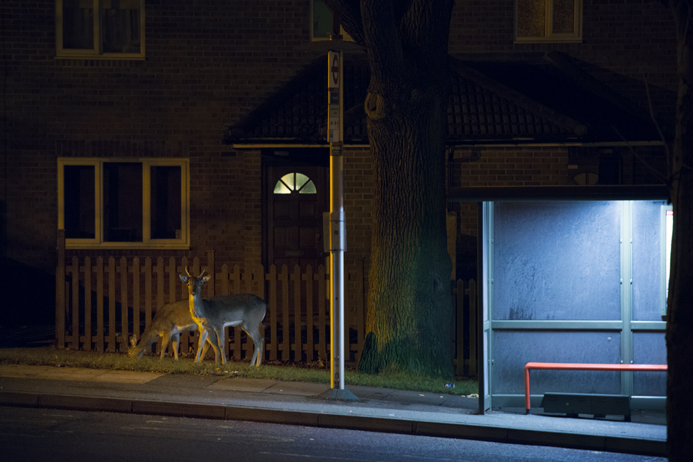 People sat at the bus stops on the way to work may never realise that wild deer have been feeding around their feet just hours before