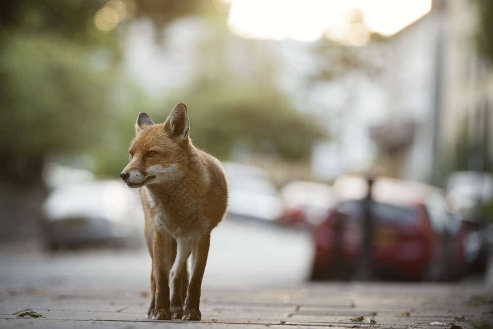 Dog foxes patrol their territories in the early morning, before the commuters head out for the day