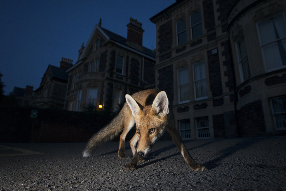 By keeping to the shadows and leading a mostly nocturnal life, the red fox can live alongside man almost unnoticed