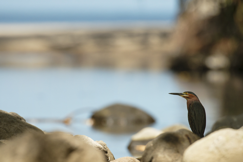 A green heron with what looks like a lovely blue stream, but is actually a stagnant pool with the reflection of the blue sky and Anse Mamin beach behind.