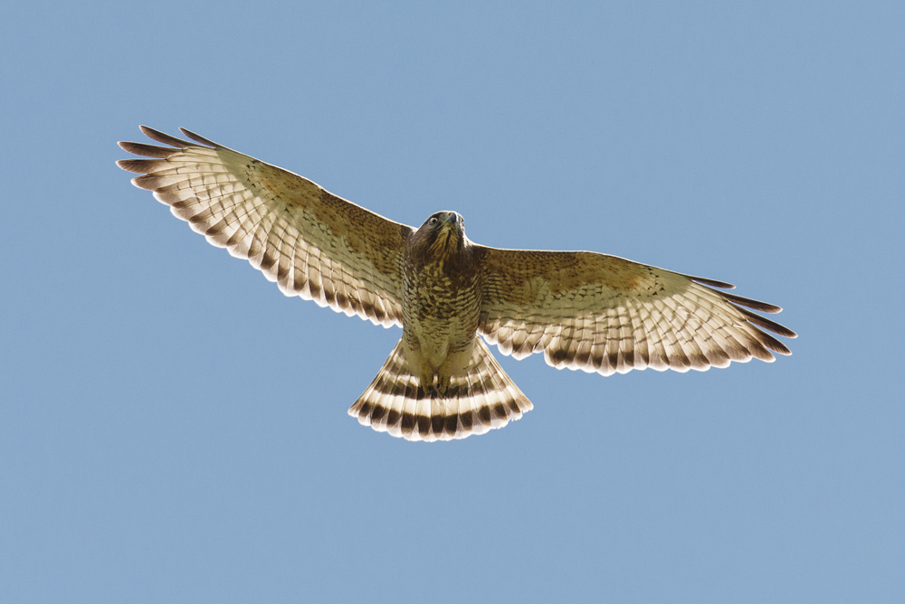 Broad-winged hawk patrolling the skies.
