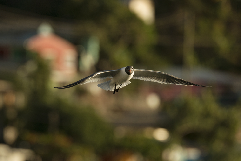 Solitary laughing gull in flight with Soufriere in background.