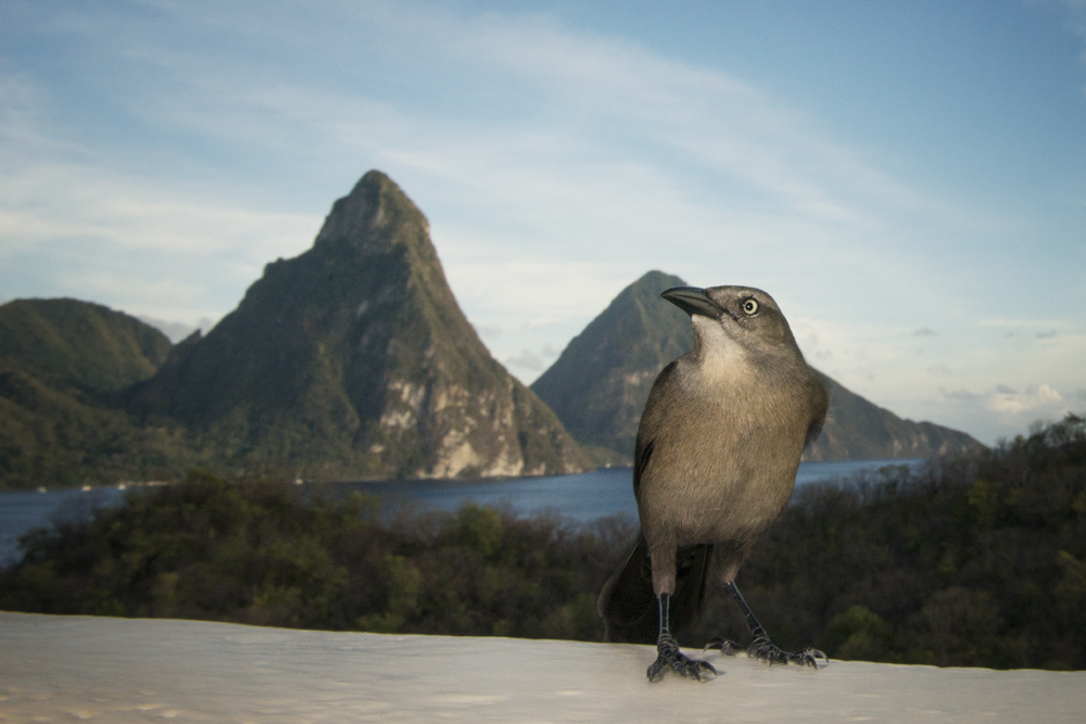 A female carib grackle in front of the Pitons.