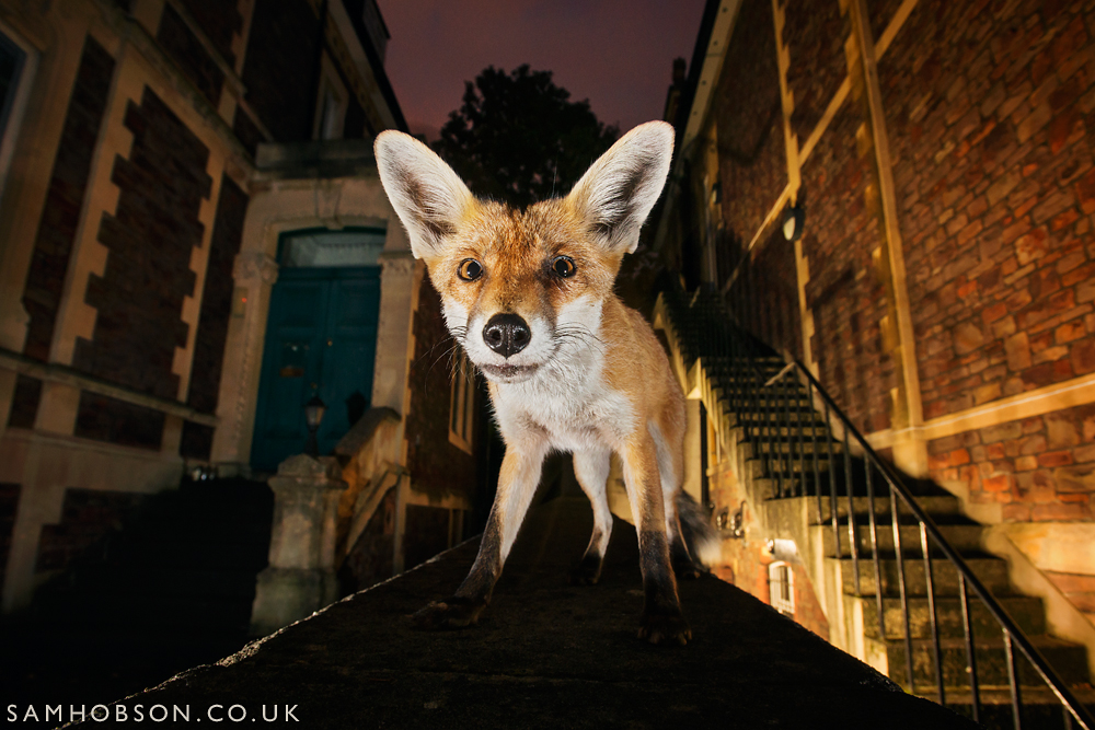 sam_hobson_urban_fox_2