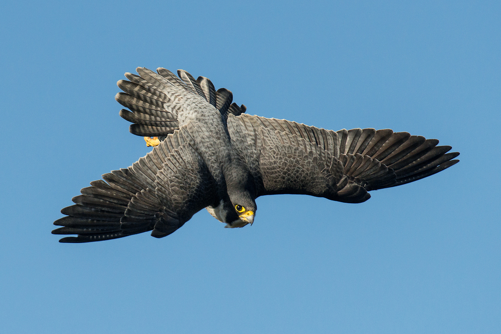 Peregrine Display