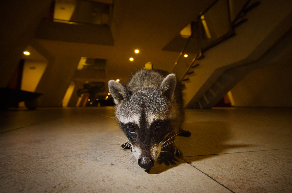 Hotel Raccoon