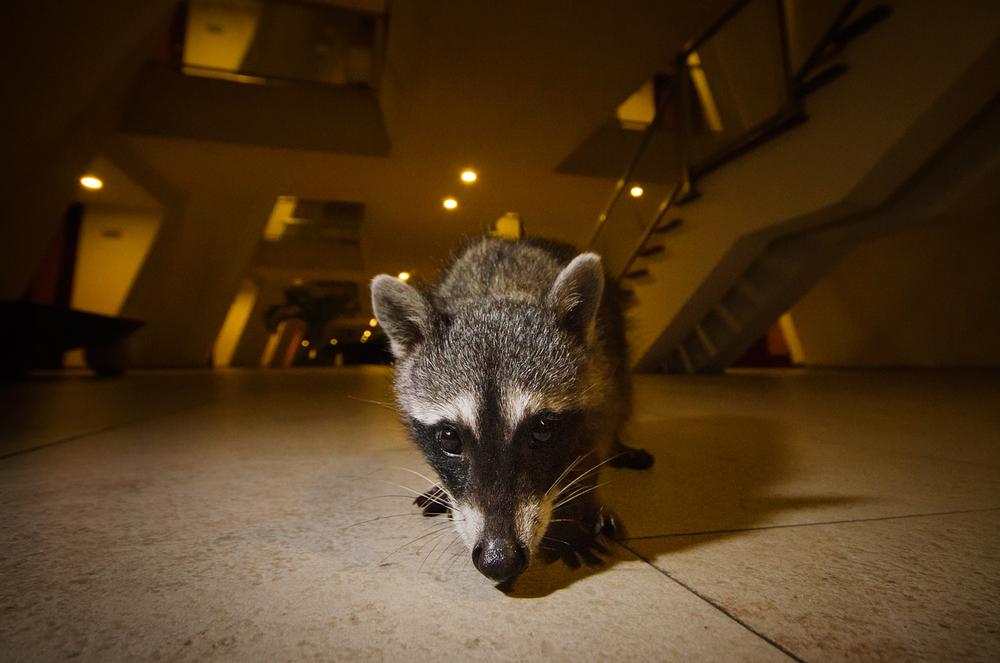 Hotel Raccoon
