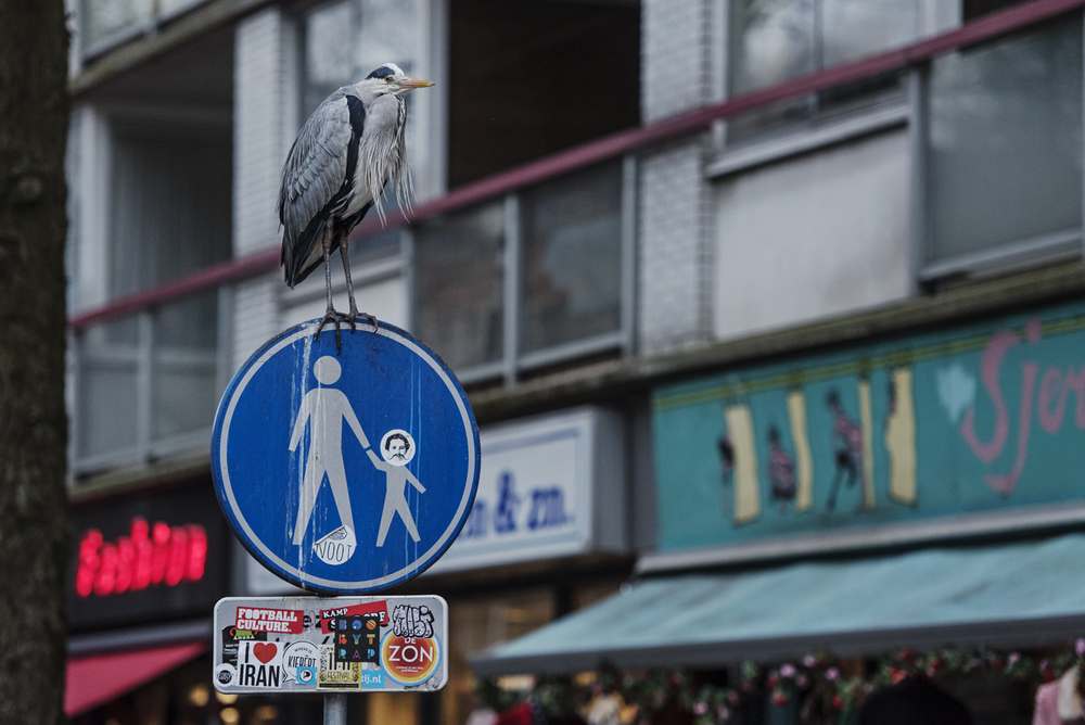 The herons have adapted so well to city life, that they now know all of the best places to sit in wait for a free meal