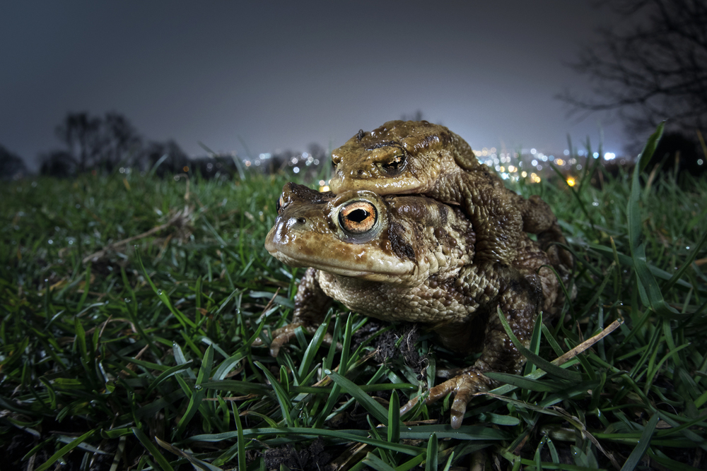 However they make it and despite all the dangers, thousands of toads will attempt this adventurous annual expedition