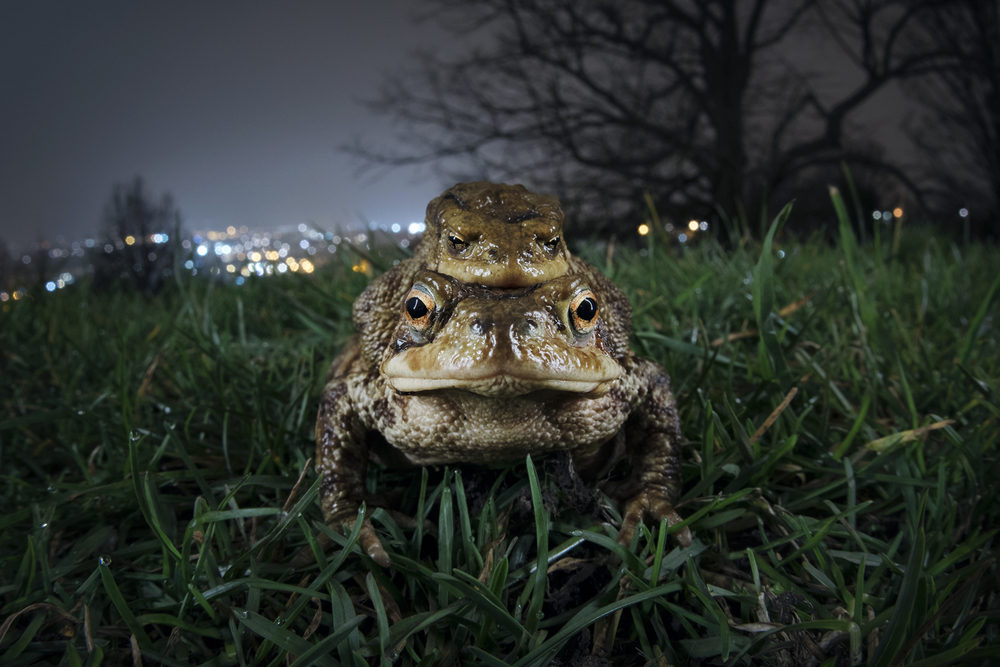 It goes unnoticed by most, but the march of the toads is a spring spectacle that has just as much drama as any migration story