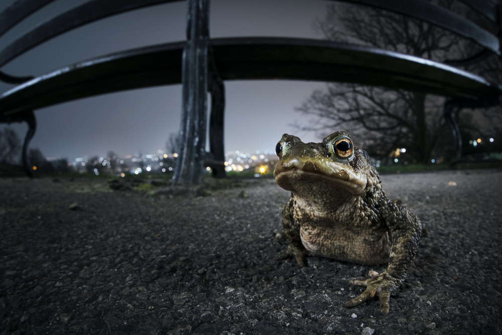 Waking from winter hibernation, common toads have a sudden urge to make for their ancestral breeding pools