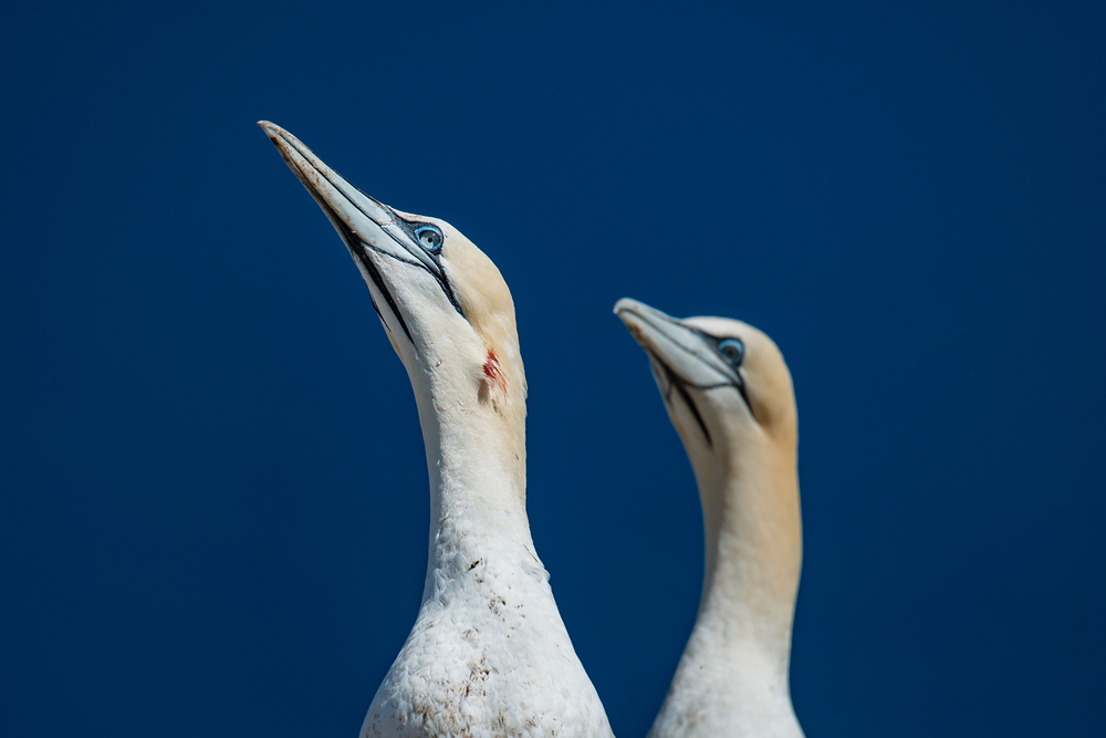 Perfectly streamlined for piercing water at 100 kmph, a northern gannet's spear-like bill makes a formidable weapon in territorial disputes