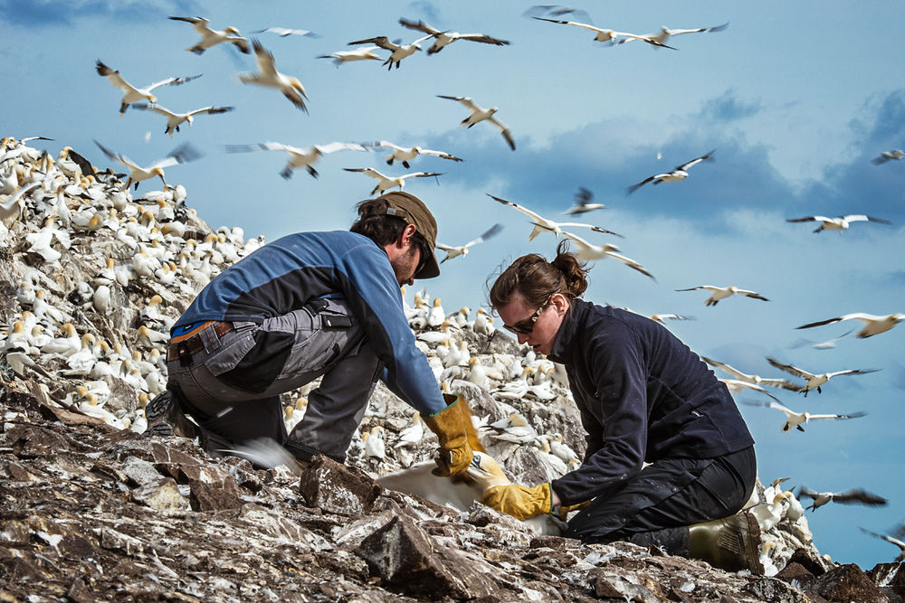 Adult gannets are formidable, powerfully built and solid. Catching them can sometimes be a two person job