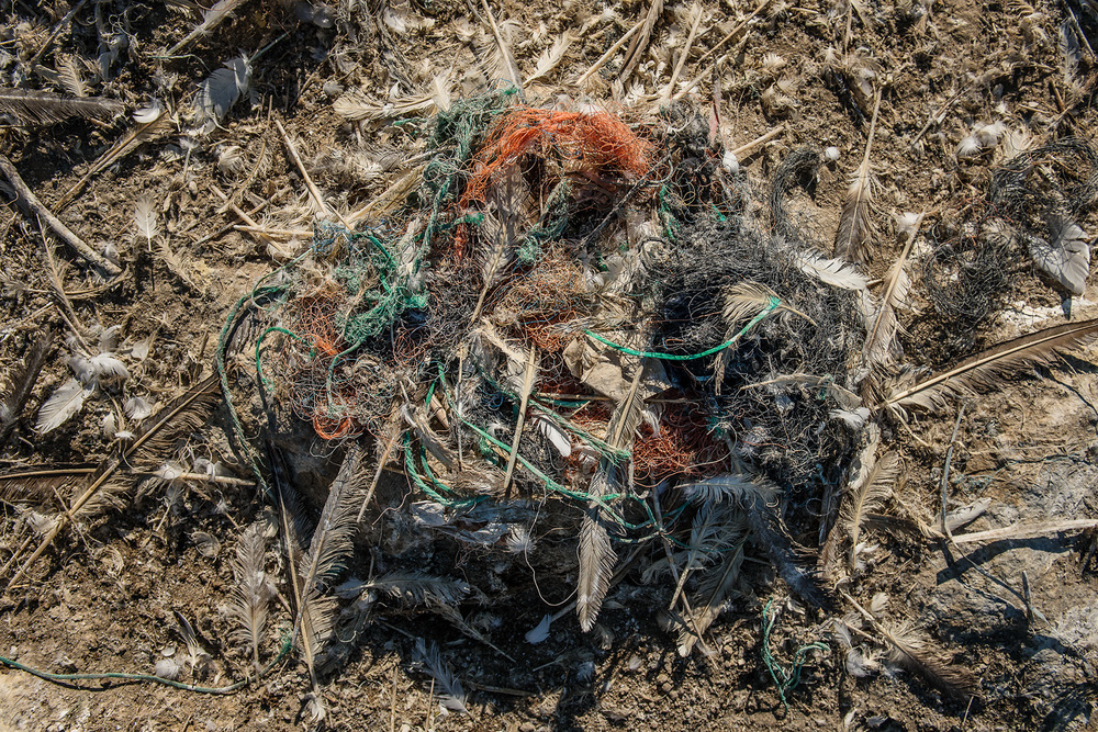 On average, a gannet's nest on Grassholm contains half a kilogram of plastic, but this ranges to well over a kilogram. Synthetic fibres can make up the majority of the nest, so removal is not an option
