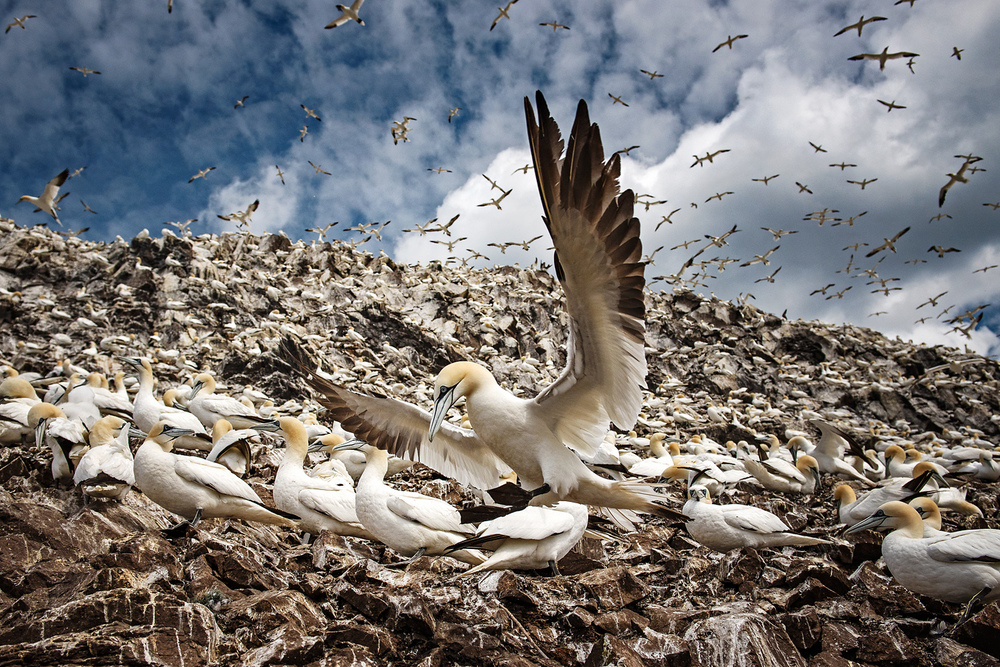 It has been said that the Bass Rock, home to a tenth of the world's northern gannets is one of the wonders of the natural world. Preventing potential disturbance to this national treasure makes the current research of the utmost importance