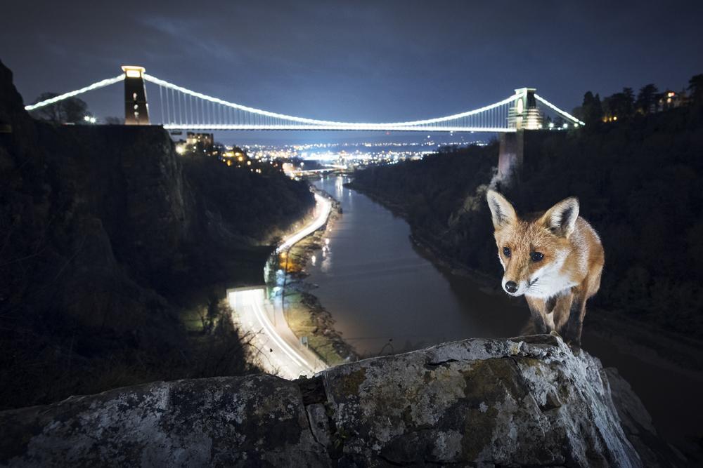 Suburban Fox