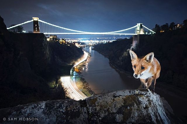 """- WITNESS THE WILD EXHIBITION AND WILDSCREEN TALK - My image of a red fox in front of Clifton Suspension Bridge will be displayed this month on Bristol's College Green from 7-28th October. The open-air """"Witness the Wild"""" exhibition is part of the Wildscreen Festival - the world's biggest celebration of screen-based natural history storytelling. The festival takes place every two years, and this year they have a dedicated photography day, where the world's top wildlife and conservation photographers will be speaking and sharing their pictures and stories. I'm doing a talk at 1pm entitled """"Making That Human Connection"""" about how I use the human environment to give wildlife a context that people can easily relate to and connect with, and I'm also sharing my conservation story about gannets and marine litter - a devastating problem that's happening close to home in the UK. Speakers include Tim Laman and other National Geographic photographers, magazine editors from National Geographic and BBC Wildlife, and I'm really looking forward to UK based conservation photographer Britta Jaschinski speaking about her latest project. I always find it totally inspiring listening to the stories behind the pictures and come away from it with loads of enthusiasm to get out and shoot some new stories. It's a unique opportunity if you're interested in wildlife photography, or even if your just interested in listening to some inspiring stories and looking at some amazing pictures! #wildlife #wildlifephotography #urbannature #wildlifeplanet #naturelovers #animals #instanature 📷🌃🐺👍"""