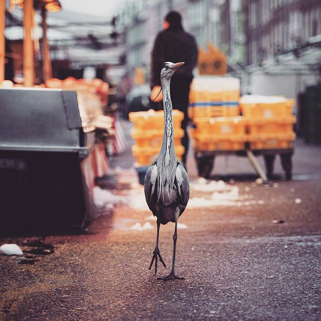 Look out for my @audubonsociety takeover this week, featuring some of my urban bird images like this heron, strolling down the high street in Amsterdam 📷🦅🏙🇳🇱