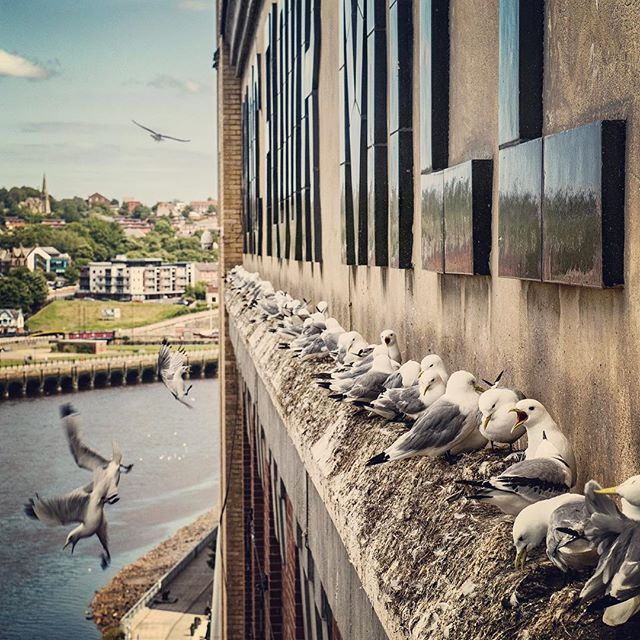The most inland colony of kittiwakes in the world nesting in Newcastle UK on the Tyne Bridge and here on the Baltic Flour Mill. Look out for my urban bird images on the @audubonsociety feed later this week 👍📷🦅🏙