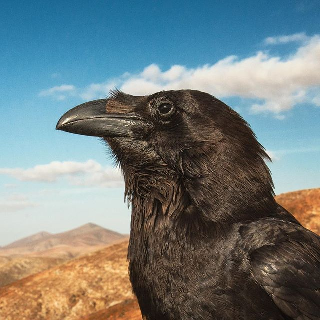 "This wild raven was known locally as Geronimo. I found him hanging out at a viewpoint on the tourist trail in Fuerteventura and was amazed at how confident he was. When he realised I had nothing to offer him he took flight and disappeared. 5 mins later a tour bus turned up and the driver got out, shouting ""Geronimo!"" Into the valley. Geronimo quickly returned to greet the bus load of tourists and pick up the treats they had to offer him. An awesome encounter with a real character 📷🚌🏜🦅"