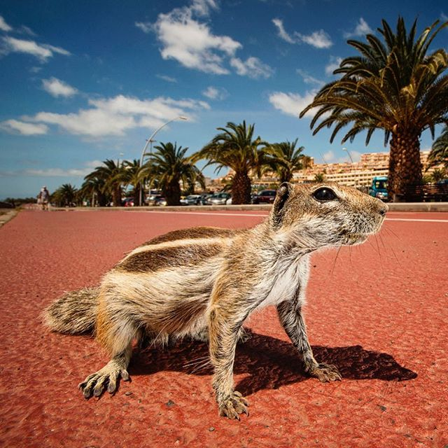 Barbary ground squirrel / beach invader 🐿🏖📷🌇☀️👍