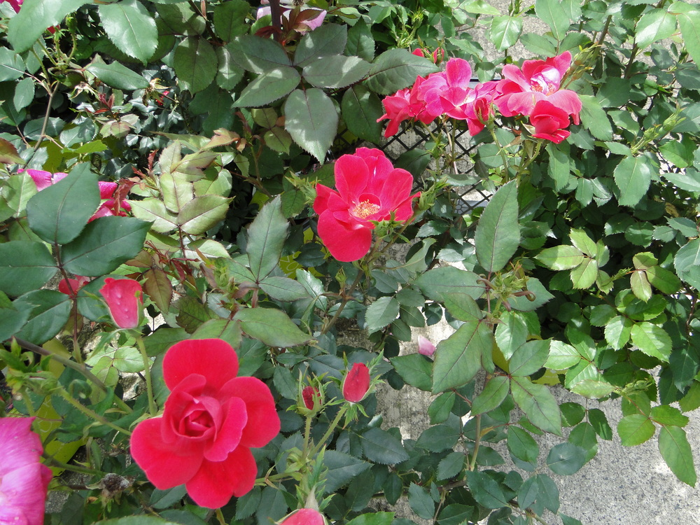 Knock_Out_Shrub_Rose.JPG