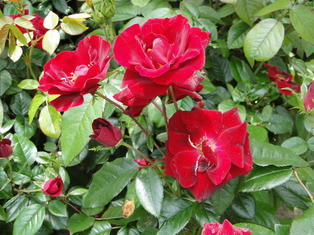 Thrive Shrub Rose