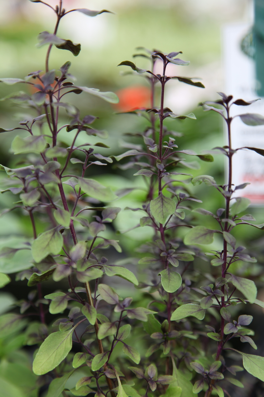 Basil_Dwarf_Purple_IMG_8871 - Copy.JPG