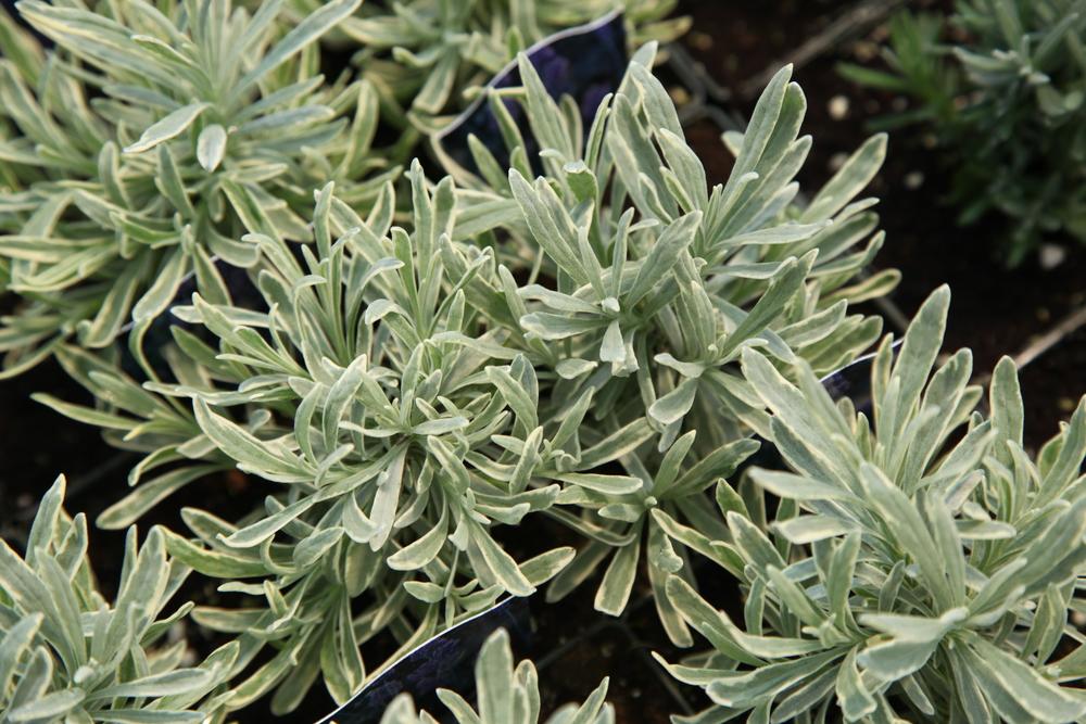 Lavender_Silver_Edge_IMG_8585 - Copy.JPG