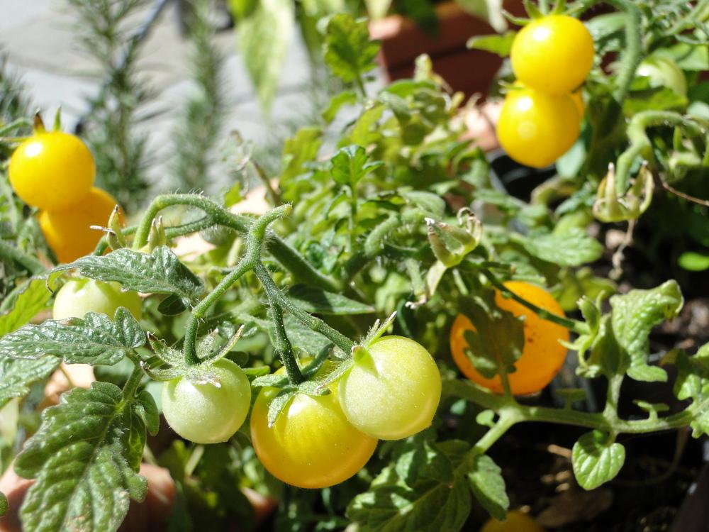 Tomato Sweet & Neat