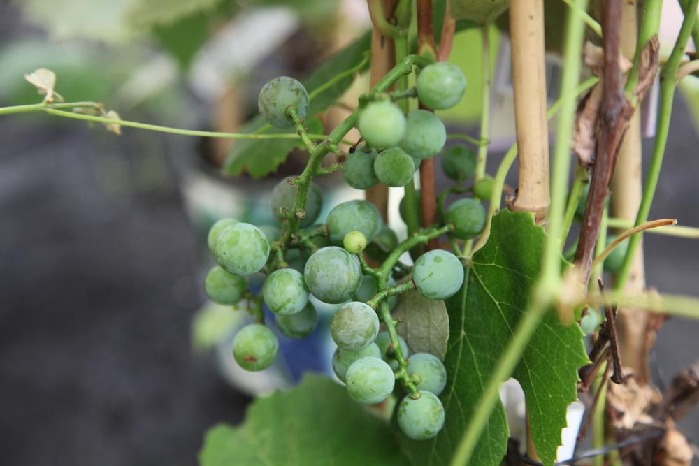 Grapes Concord