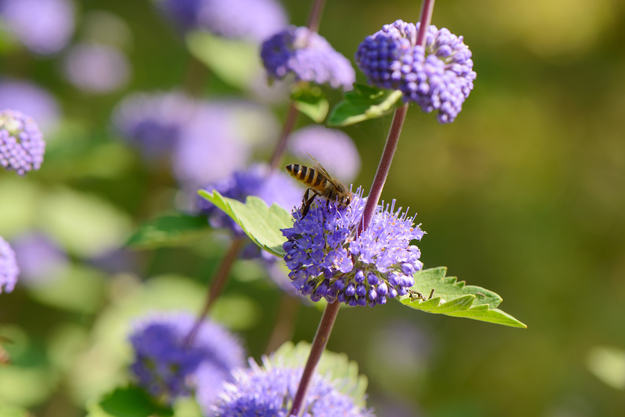 bigstock-Caryopteris-Incana-Flowrs-With-75800683.jpg