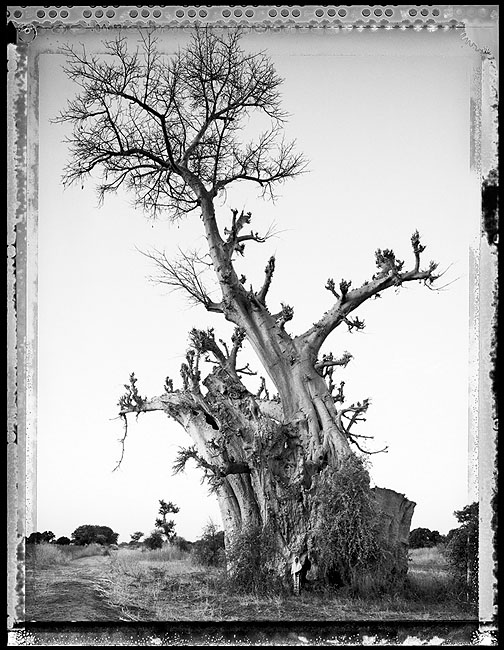 Elaine Ling |  Baobab, Tree of Generation #6 , Mali