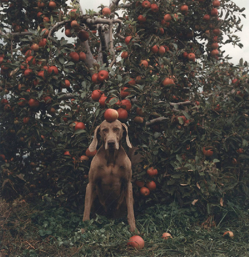 Untitled (Ghent Fay with Apples) 1990, © William Wegman