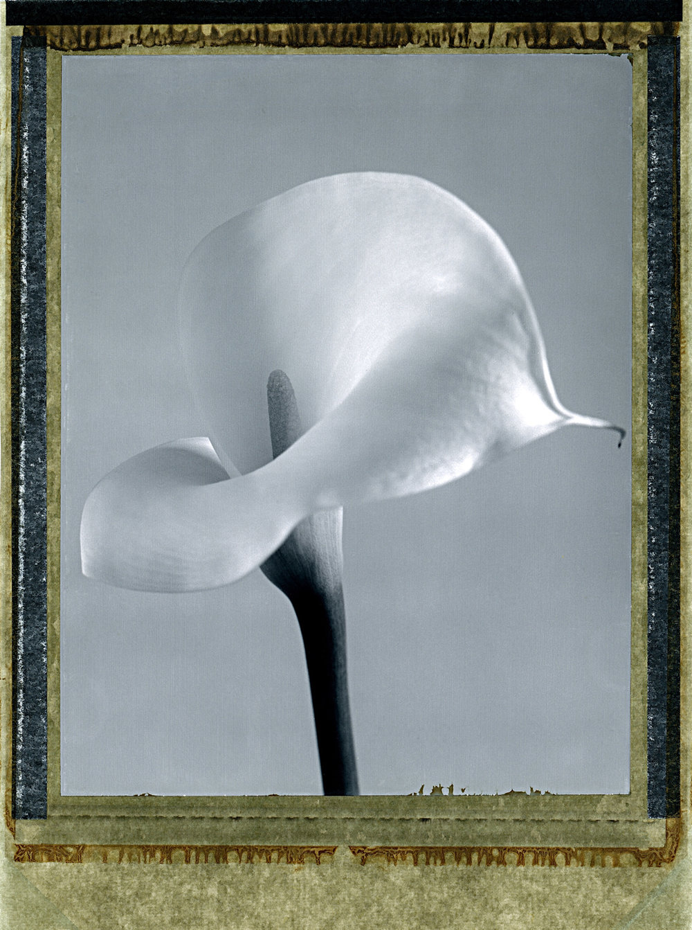 """""""Arum Lily"""" by Jean Jacques Reymond"""
