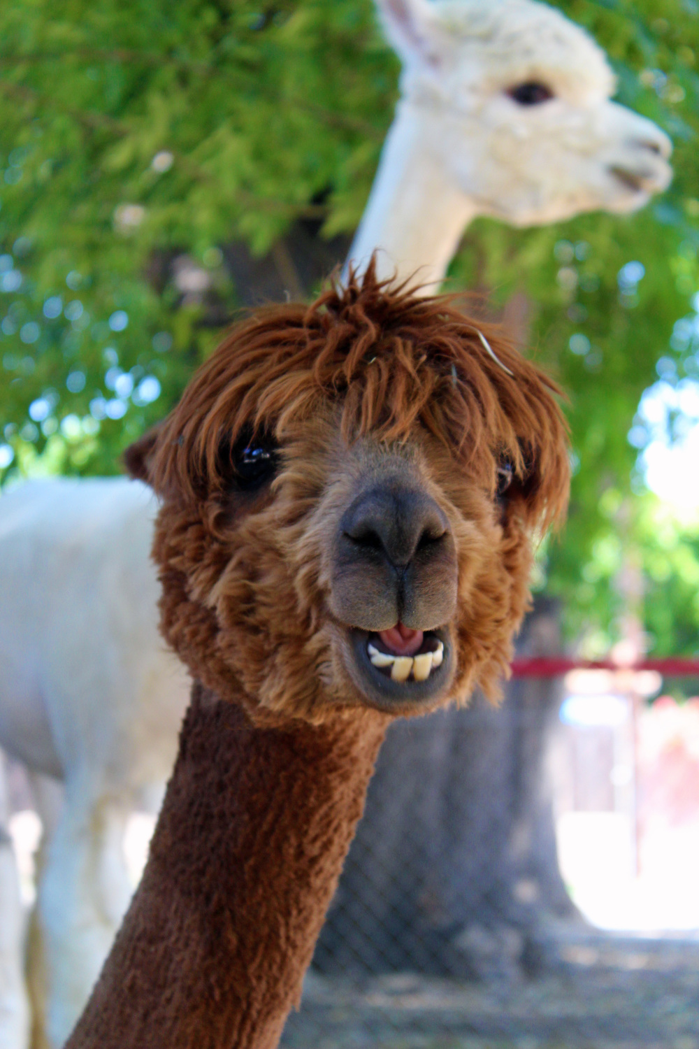 Brown alpaca.jpg