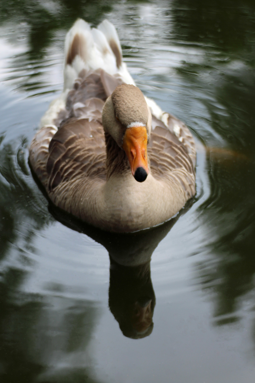 Goose face.jpg