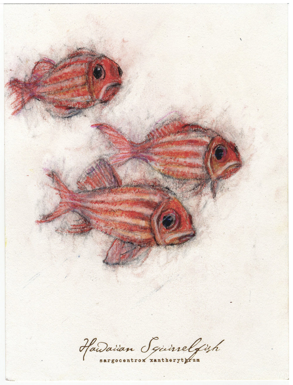 "Hawaiian Squirrelfish, 2017 6"" x 8"" charcoal & prismacolor on paper"