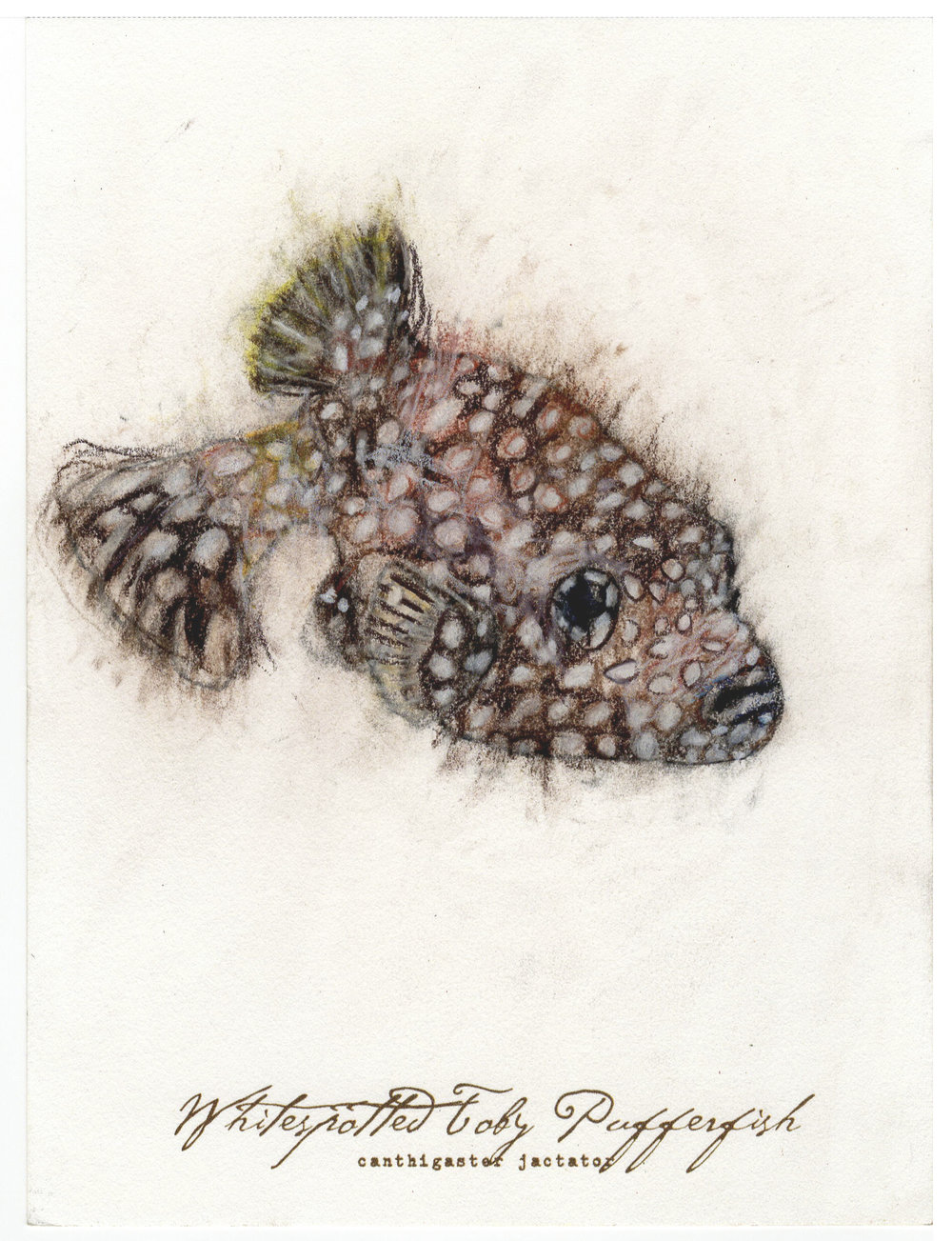 "Whitespotted Pufferfish, 2017 6"" x 8"" charcoal & prismacolor on paper"