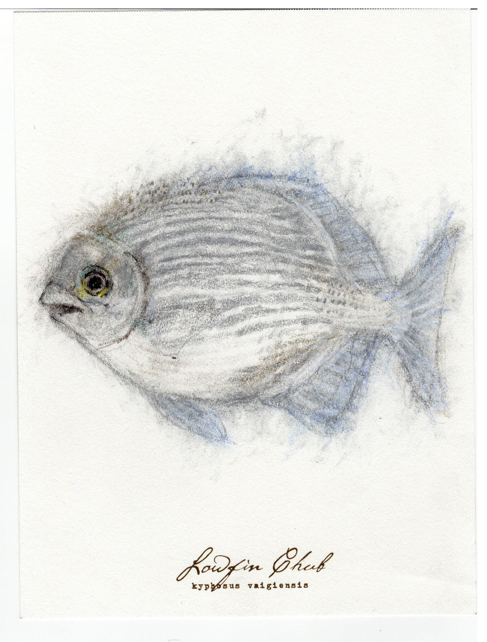 "Lowfin Chub, 2017 6"" x 8"" charcoal & prismacolor on paper"