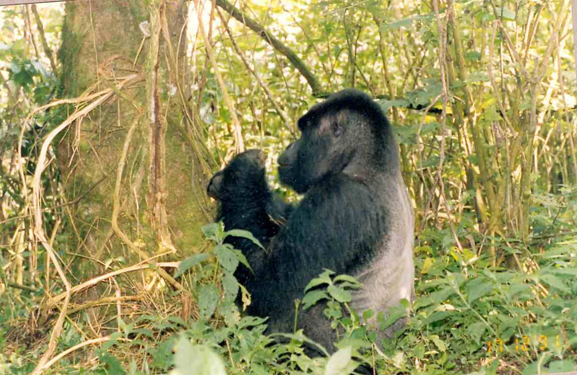 Zaire Virunga NP Silverback Dad before his charge