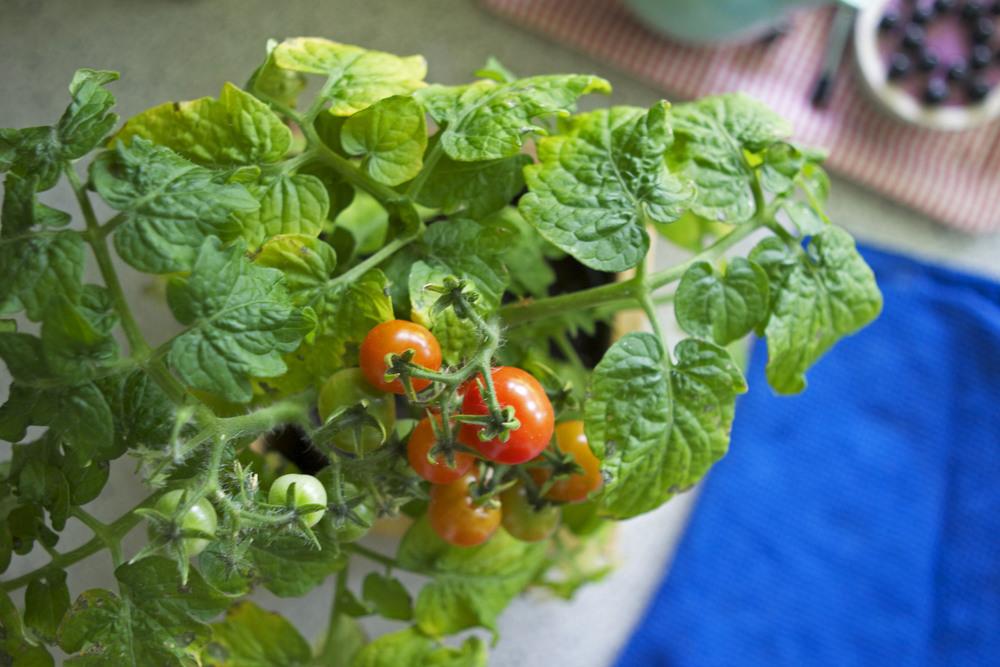 tomato_tree.jpg