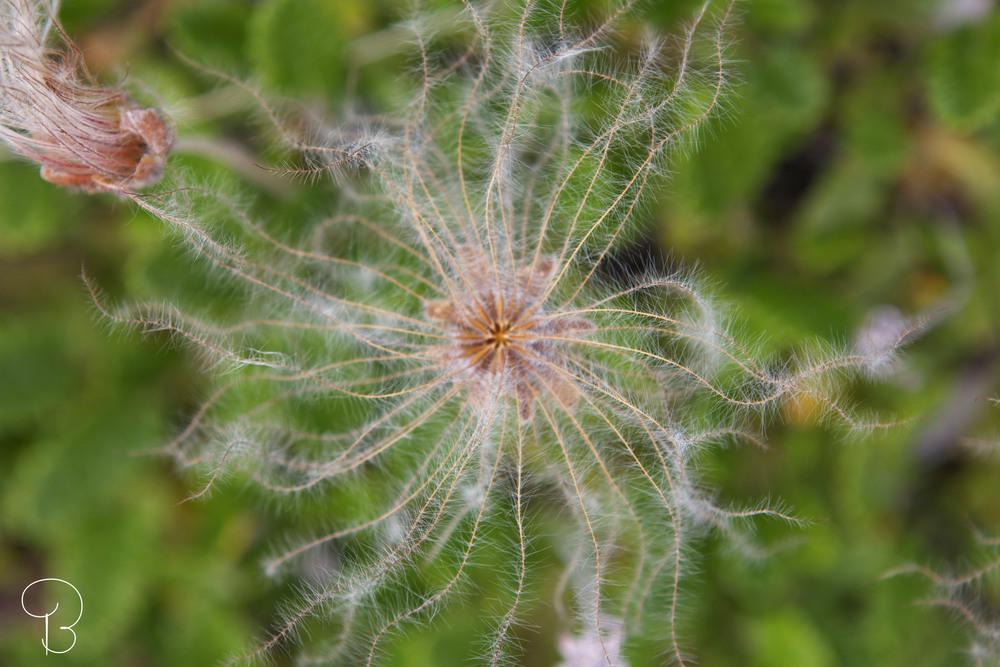 flower_iceland.jpg
