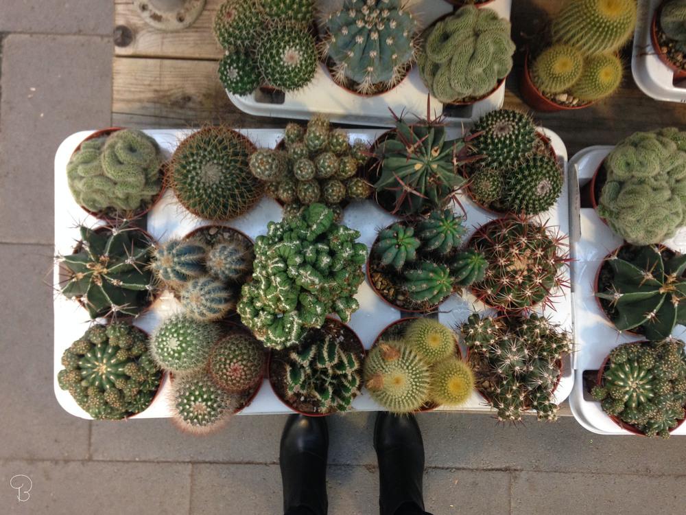 kaktus_blomaval_bg.jpg