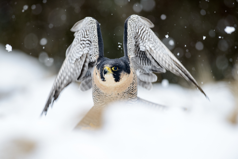 A captive peregrine prepares for take off in falling snow. The Cairngorms, Scotland.