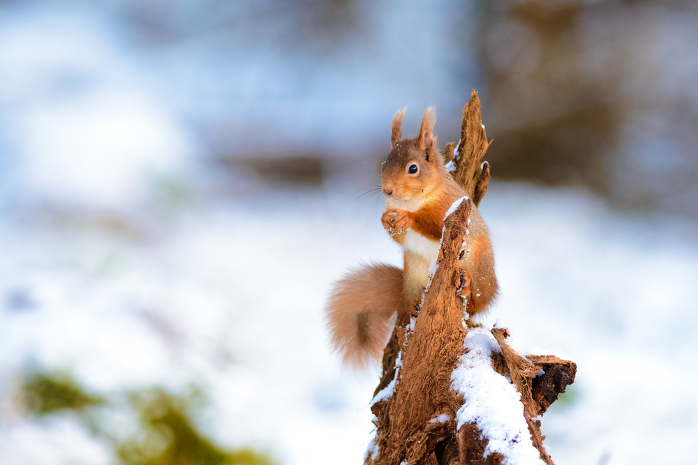 A red squirrel perches on a stump whilst eating a nut and surveying the surrounding area, Glenlivet Estate, Cairngorm National Park, Scotland.