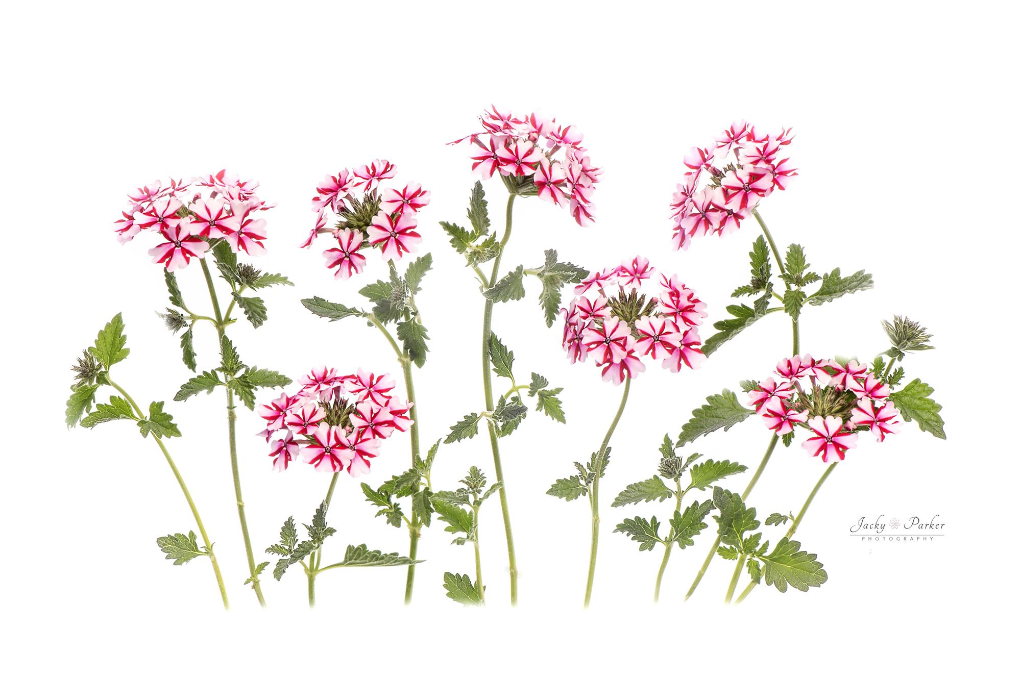 High Key Flowers Jacky Parker