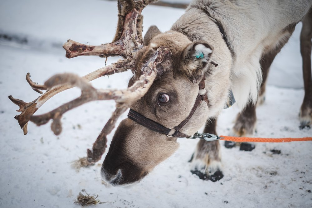 Wildlife Lapland.jpg